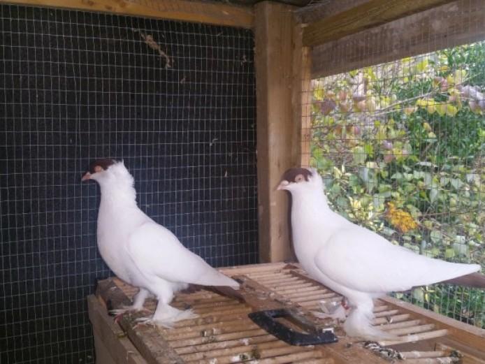 Fancy Breeds Of Pigeons