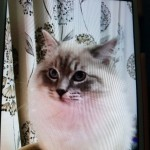 Ready Now Ggcf Reg Full Pedigree Ragdoll Kitten