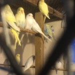 Young Baby Budgies