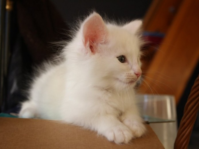 Pedigree Norwegian Forest Cat . Kittens Available