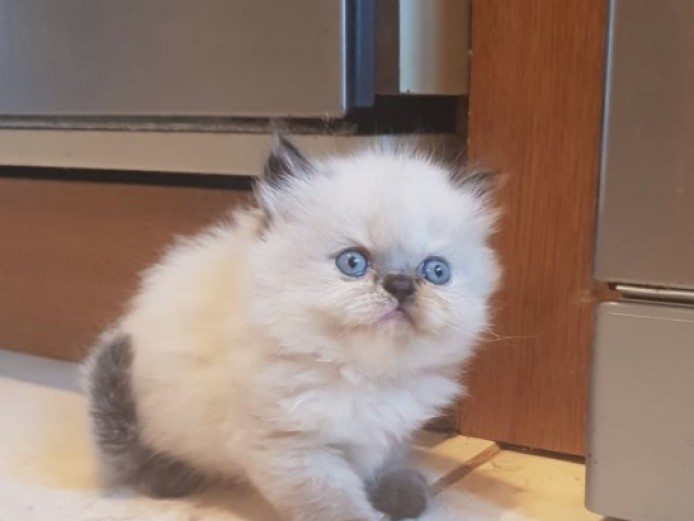 Gorgeous Colorpoint Kitten