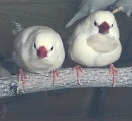 2 Pairs Of Hecks Finches