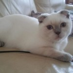Beautiful Boy Scottish Fold For Sale