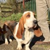 Pets  - Young At Heart Basset Girl Looking For Home