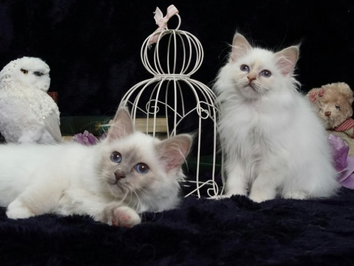 Beautiful Birman Kittens . Grand Champion Parents