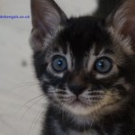 Silver Charcoal Bengal Reg.ped