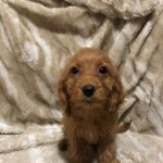 Stunning Red Black Cockapoo Pups Ready 3rd Nov