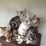 Classic Ocicat Kittens