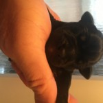 Patterbull Pups For Sale