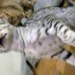 Stunning Spotted Ocicat Kittens