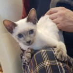 Blue Point Male Classic Siamese Kittens