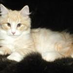 Ready Now Full Pedigree Kittens For Sale