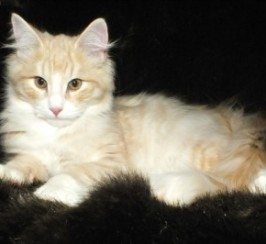 Ready Now Full Pedigree Kittens For Sale