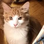 Beautifull Litter Of Siberian Kittens