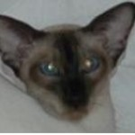 Lovely Siamese Seal Point Looking For Good Home