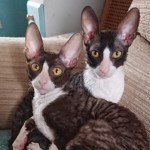 Cornish Rex Pedigree Kittens T.i.c.a Registered.