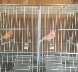 Breeding Canaries