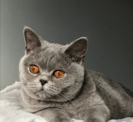 British Shorthair Blue 9 Months Female Neutered