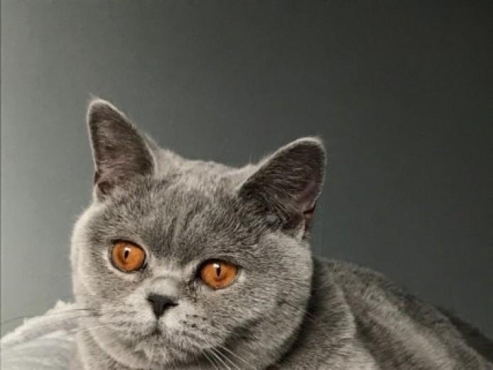 British Shorthair Blue 9 Months Female Neutered