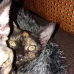Two Devon Rex Kittens. Ready Now.