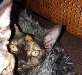 Two Devon Rex Kittens. Ready Now.