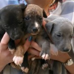 Beautiful Litter . Blue. Black And Brindle Puppies