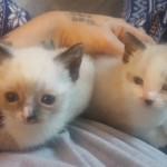 2 Beautiful Snowshoe Siamese Kittens 200 Each