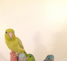 Baby Super Silly Tame Friendly Parrotlet Parrot