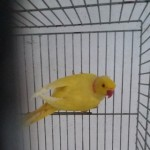 Lutino Male Ringneck Parrot For Sale