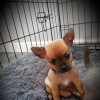 Pets  - Stunning Pedigree Smooth Chihuahuas.
