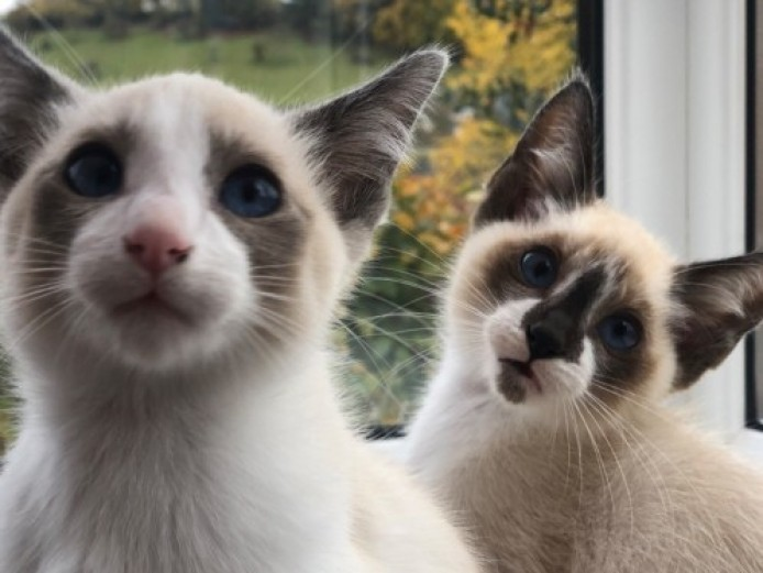 Beautiful Blue Eyed Snowshoe Kittens.