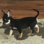 Xx Tiny Kc Reg Female Smooth Coat Chihuahuas Xx