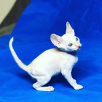 Pedigree Cornish Rex Kittens