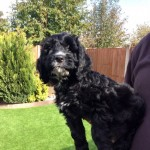 Adorable F1 Cockerpoo Puppy For Sale