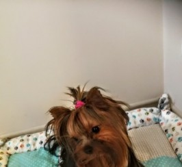 Beautiful Yorkshire Terrier Boy