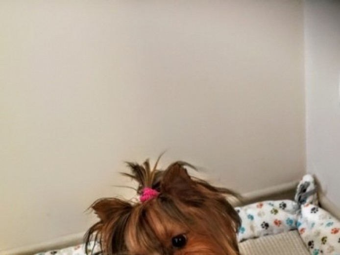 Beautiful Yorkshire Terrier Boy