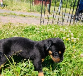 Beautiful Boxer X Rottweiler Puppies