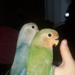 Handreared Lovebirds