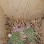 Proven Pair Of Conures With Cage And Box