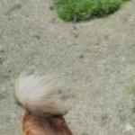 Long Haired Beautiful Male Chihuahua