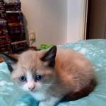 5 Snowshoe Kittens