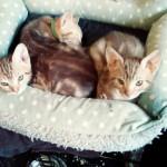 3 Ocicat Classic Kittens .gccf Registered.