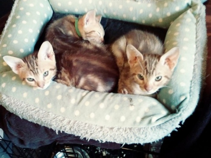 3 Ocicat Classic Kittens .gccf Registered.