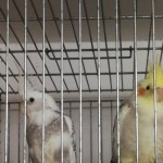 Pied Cockatiels For Sale