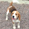 Pets  - Kc Beagle Puppies Ready Now