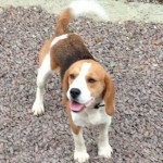 Kc Beagle Puppies Ready Now