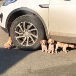 Playful Beagles