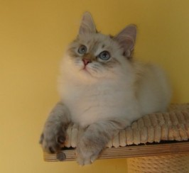 Hypoallergenic Siberian Kittens With 5gen Pedigree