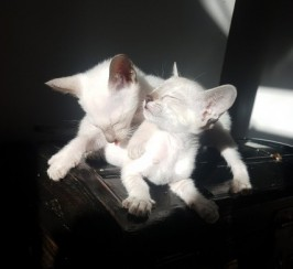 Siamesse Kittens For Sale
