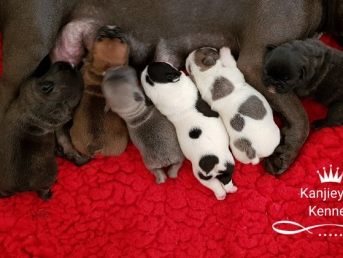 Silver Health Tested Kc Registered French Bulldogs